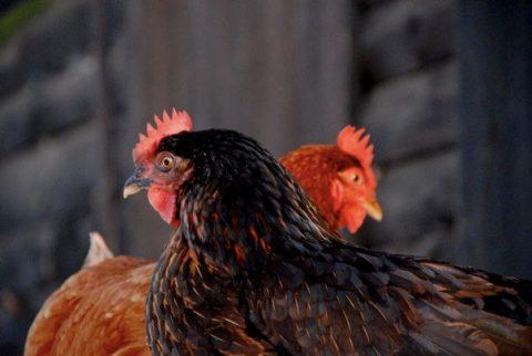aviaire